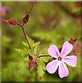 NJ5851 : Herb Robert (Geranium robertianum) by Anne Burgess