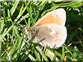 C7416 : Small Heath Butterfly (Coenonympha pamphilus) by Anne Burgess