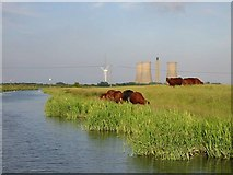 TR3162 : Cows grazing by the River Stour by Nick Smith