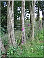 SP3474 : Foxgloves and barbed wire by E Gammie