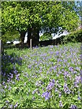 SK2441 : Bluebells at Brailsford Church by Clive Woolliscroft