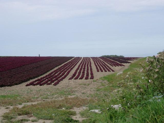 Field of Red Lettuce