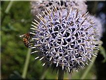 SX7962 : Bee on globe thistle, Dartington by Derek Harper
