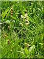 NY9028 : Greater butterfly orchid. by Robin Madge