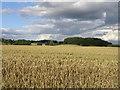 NZ3131 : Corn Field by Donald Brydon