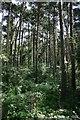 TF8620 : Campas Wood by Bob Jones