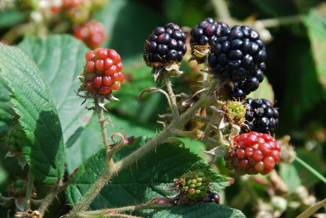 Mwyar duon - Blackberries