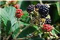 SH4338 : Mwyar duon - Blackberries by Alan Fryer