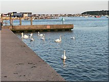 SZ1891 : Mudeford: swans and beach huts by Chris Downer