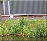 SE1537 : Swan & Cygnet - Bank of Leeds and Liverpool Canal by Betty Longbottom