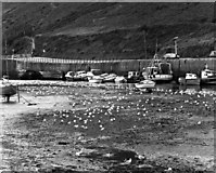 SC2484 : Seagulls, Peel Harbour, Isle of Man by Dr Neil Clifton