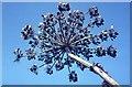 NT9452 : Giant Hogweed by M J Richardson