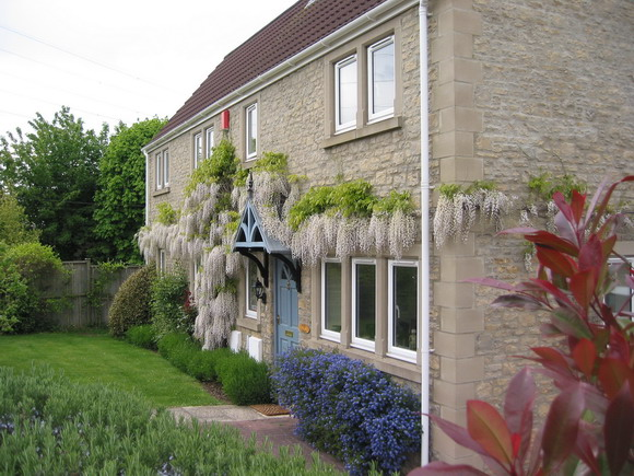 Wisteria at Elly Green