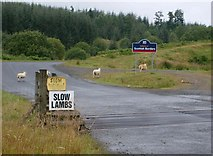 NY5083 : Slow lambs by Rose and Trev Clough