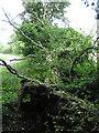 TF9523 : Fallen tree at edge of Horningtoft Wood by Zorba the Geek