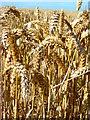 SK7376 : Ears of  wheat by John Poyser