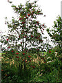 TG2528 : Rowan tree (Sorbus aucuparia) laden with berries by Evelyn Simak