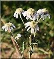 NJ3647 : Sneezewort (Achillea ptarmica) by Anne Burgess