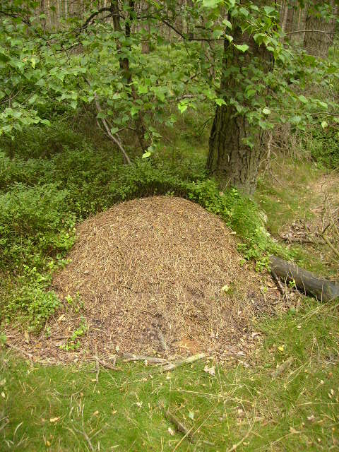One of many ant hills seen in Dark Gill Plantation