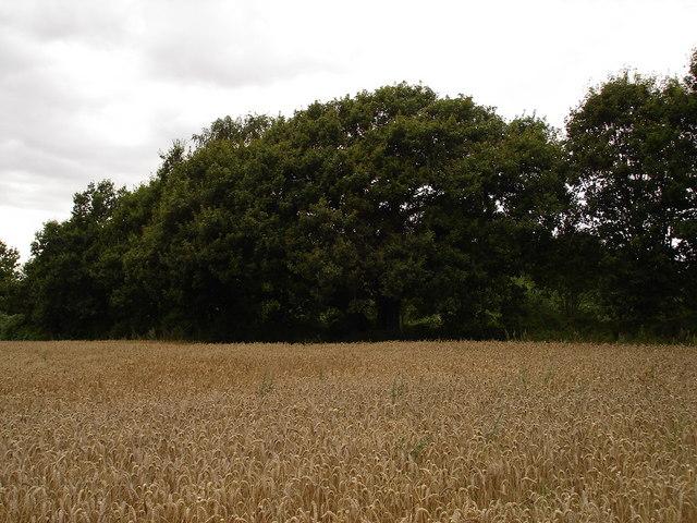 The Churn Oak