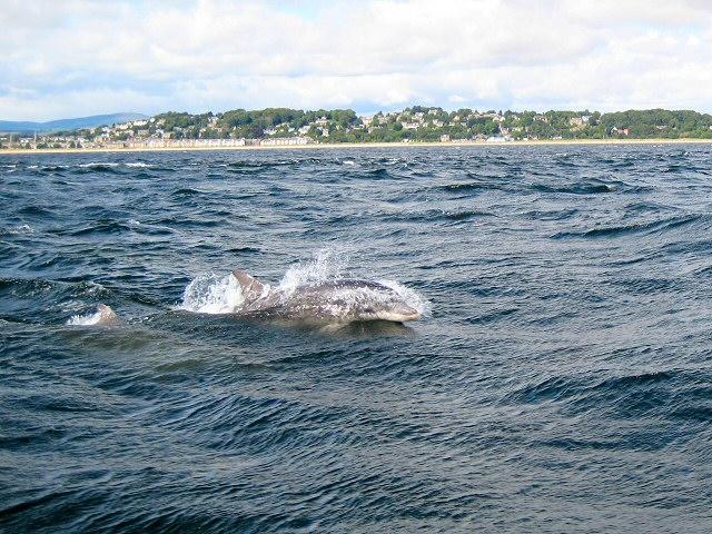 Dolphins in the Firth of Tay