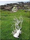 NR7103 : Trunk flotsam on Sanda Island by Frederick Pollock