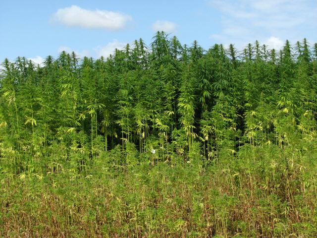 Hemp (Cannabis spec.) - detail