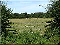 TG2431 : Cattle grazing near Boundary Farm by Evelyn Simak