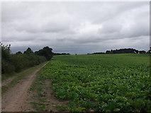 SJ3620 : Sugarbeet as far as the eye can see by John Haynes