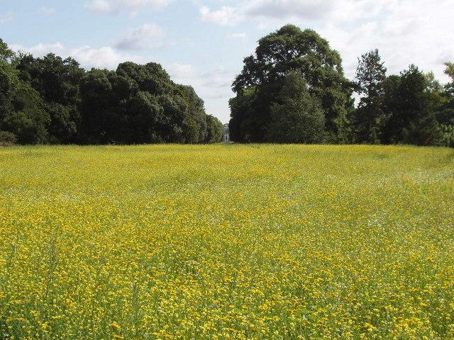 Yellow field at Kew Gardens