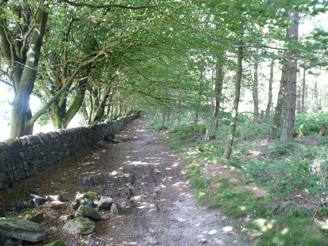 Dry Stone Wall and an avenue of Beech Trees