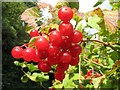TG0935 : Guelder rose (Viburnum opulus) by Evelyn Simak