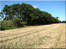 TG1440 : Small woodland or shelter belt south of the A148 (Holt Road) by Evelyn Simak