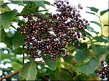 TG1440 : Ripening elderberries by Evelyn Simak