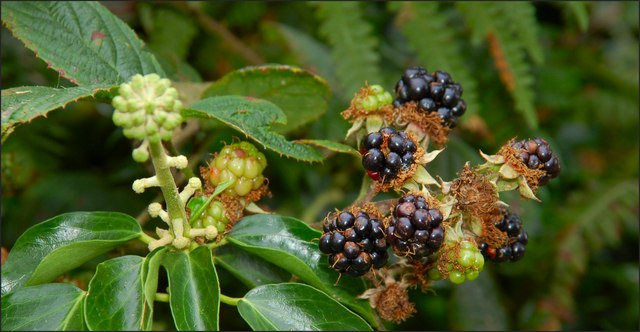 Flowers and berries, Killynether Wood