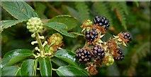 J4772 : Flowers and berries, Killynether Wood by Albert Bridge