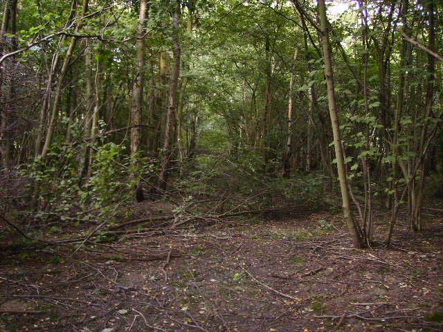 Inside Patefield Wood