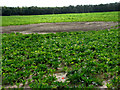 TG1522 : Shallow dip in sugar beet field by Evelyn Simak
