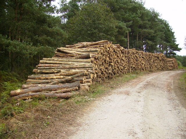 Enormous quantity of harvested logs