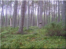 NH9718 : Abernethy Forest Nature Reserve by M J Richardson