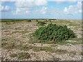 TG0245 : Suaeda on Blakeney Point by Hugh Venables
