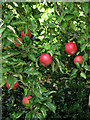 TG3726 : Ripe apples by Evelyn Simak