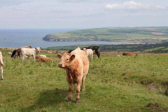 Cows grazing on Mynydd Dinas
