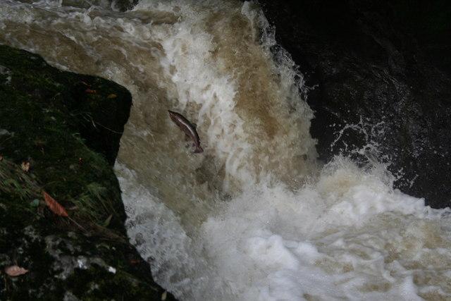 Salmon leaping at Buchanty Spout