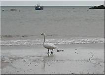 SS0197 : Lone swan on the beach at Freshwater Bay by Pauline E