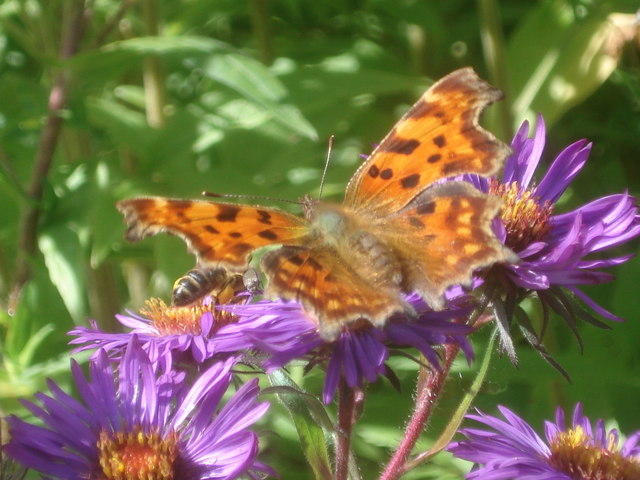 Comma Butterfly at Picton Garden