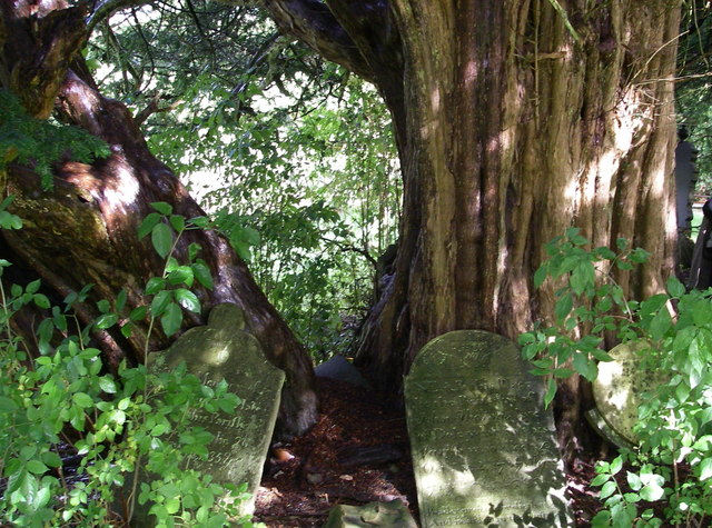 Ancient Yews at Abergwesyn.