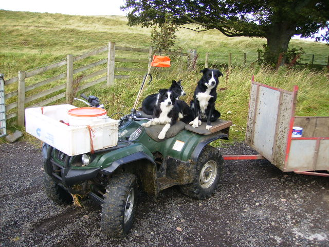 Working dogs at Hethpool