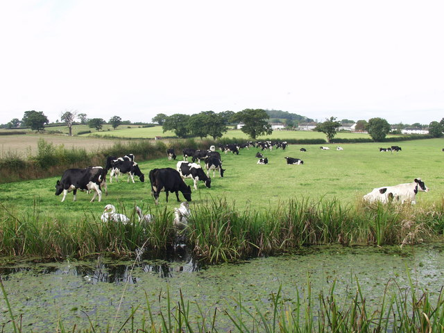 Dairy cows grazing and a family  of swans resting