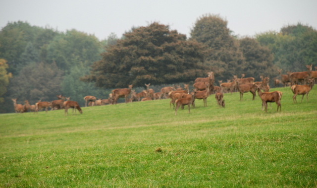 The deer in the park at Wootton Lodge